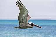 Ecuador, Galapagos Islands, Santa Cruz, Playa Las Bachas, flying brown pelican - FOF007350