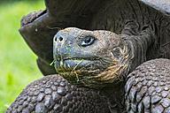 Ecuador, Galapagos Islands, Galapagos tortoise with grass in the face - FOF007390