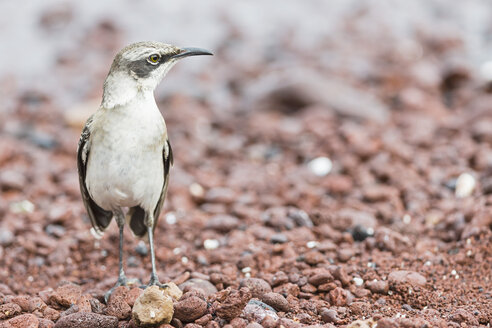 Ecuador, Galapagos Islands, Rabida, Galapagos mockingbird - FOF007400