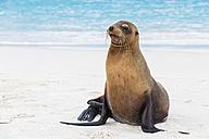Ecuador, Galapagos Islands, Espanola, Gardner Bay, sea lion on sandy beach at seafront - FOF007409