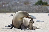 Ecuador, Galapagos Islands, Seymour Norte, sea lion with baby - FOF007426