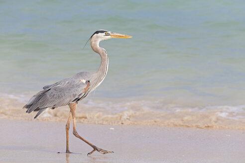 Ecuador, Galapagos Islands, Santa Cruz, Playa Las Bachas, Great blue heron - FOF007431