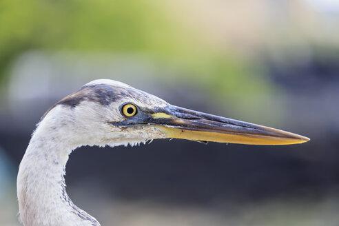 Ecuador, Galapagos Islands, Santa Cruz, portrait of Great blue heron - FOF007433