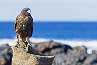 Ecuador, Galapagos Islands, Santiago, Puerto Egas, Galapagos hawk - FOF007435