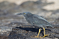 Ecuador, Galapagos Islands, Santiago, Puerto Egas, lava heron on a rock - FOF007444
