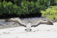 Ecuador, Galapagos Islands, Genovesa, Darwin Bay, young Nazca booby spreading wings - FOF007460