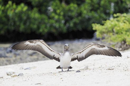 Ecuador, Galapagos Islands, Genovesa, Darwin Bay, young Nazca booby spreading wings - FOF007460
