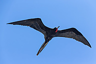 Ecuador, Galapagos Islands, Isabela, flying frigatebird - FOF007474