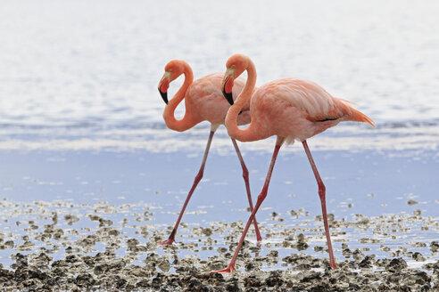 Ecuador, Galapagos Islands, Floreana, Punta Cormorant, two pink flamingos walking side by side in a lagoon - FOF007485