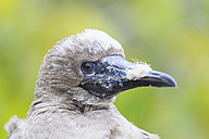 Ecuador, Galapagos, Genovesa, Red-footed Booby, Sula sula, young animal, portrait - FOF007488