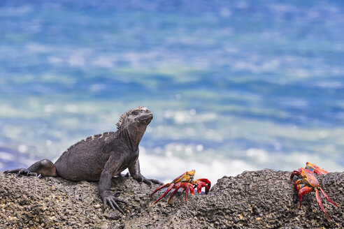 Ecuador, Galapagos Islands, Santa Cruz, Marine iguana, Amblyrhynchus cristatus, and red rock crabs, Grapsus grapsus - FOF007510