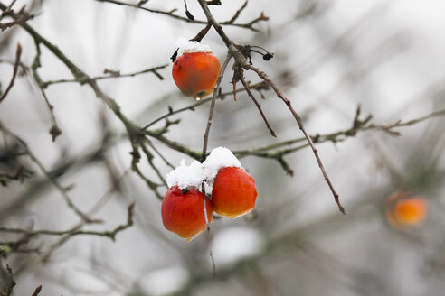 Germany, apple hanging on apple tree in winter - JTF000613