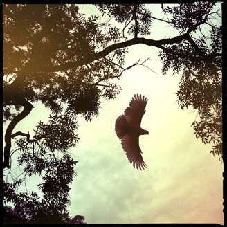 blue mountains, bird, tree, branches, flying, composition, glenbrook, new south wales, australia - LUL000066