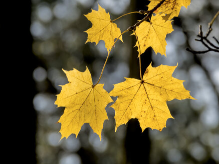 Yellow autumn leaves of maple tree - EJWF000631