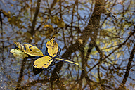 Yellow autumn leaves on a puddle - EJWF000633