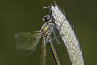 Wet banded demoiselle, Calopteryx splendens - MJOF000931