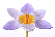 Crocus in front of white background - MJOF000934