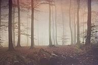 Germany, Wuppertal, beech forest in fog - DWI000399