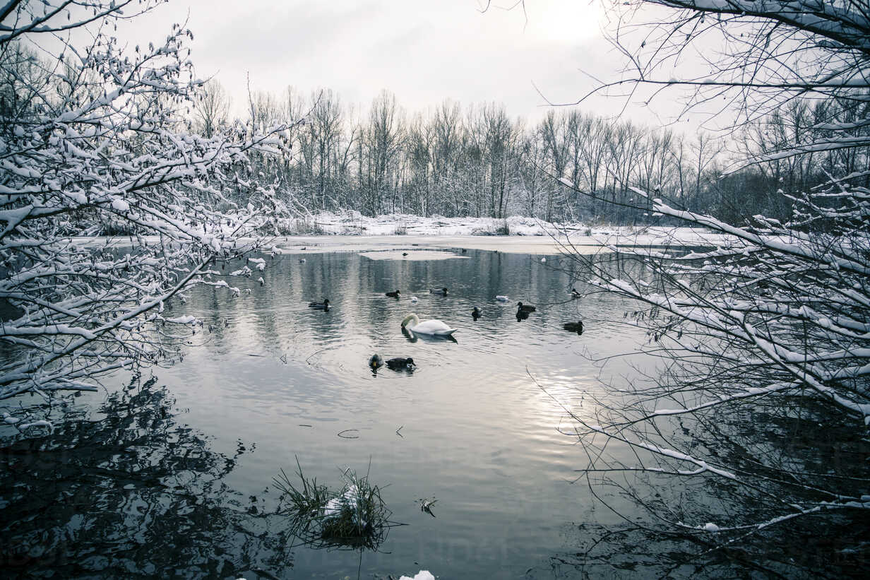 Germany, Bavaria, Ergolding, Pond with birds and swan in winter - SAR001271 - Sandra Roesch/Westend61