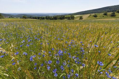 Austria, Burgenland, Geschriebenstein nature park, cornflowers in field - SIEF006411