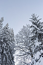 Germany, Baden-Wuerttemberg, Black Forest, coniferous trees in winter - JUN000179