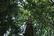 Canada, Vancouver, high tree in forest - NGF000165