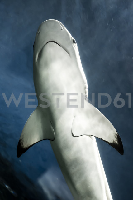 Canada, Vancouver Aquarium, Black-tip reef shark - NGF000176