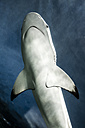Canada, Vancouver Aquarium, Black-tip reef shark - NGF000176