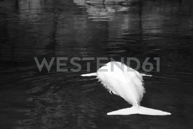 Canada, Vancouver Aquarium, White whale - NGF000181