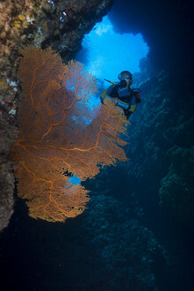 Pacific Ocean, Palau, scuba diver in coral reef with Giant Fan Coral - JWAF000214