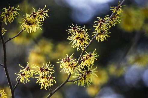 Germany, witch hazel in winter - JTF000620