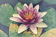 Water lily - CSTF000791