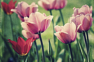 Tulips - CSTF000799