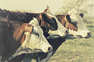 Three cows on pasture - CSTF000801