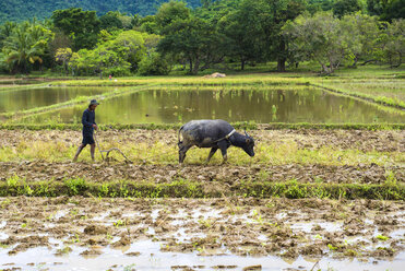 Philippines, Palawan, El Nido, man ploughing a rice field with his water buffalo - GEM000008