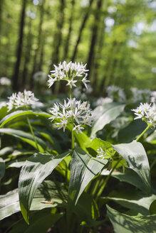 Germany, North Rhine-Westphalia, Eifel, blossoming wild garlic - GWF003622