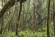 Canary Islands, La Gomera, Garajonay National Park, laurel forest - SIEF006434
