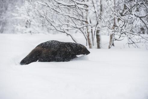 Norway, Bardu, wolverine walking through snow - PAF001241