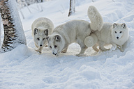 Norway, Bardu, three polar foxes in winter - PAF001231