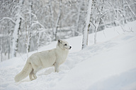 Norway, Bardu, polar fox in winter - PAF001238