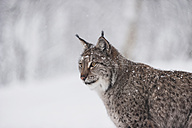 Norway, Bardu, lynx in winter - PAF001244