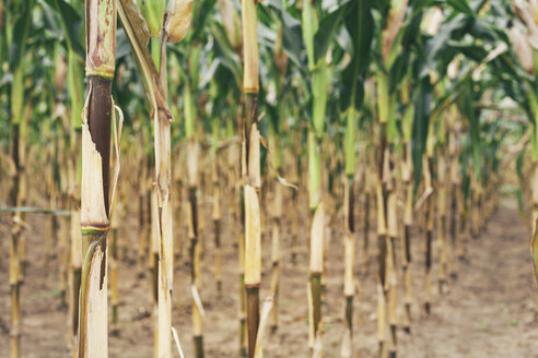 Bulgaria, Razgrad, row of maize plants in drought condition - BZF000023