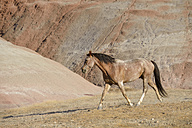 USA, Wyoming, Big Horn Mountains, wild horse - RUEF001466