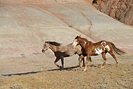USA, Wyoming, Big Horn Mountains, two running wild horses - RUEF001467