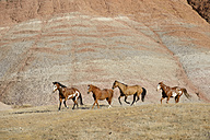 USA, Wyoming, Big Horn Mountains, four galloping wild horses - RUEF001479