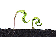 Two seedlings of maple tree in front of white background - RUEF001420
