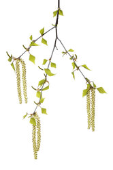 Twig of birch tree with leaves and catkins in front of white background - RUEF001426