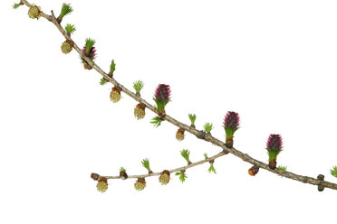 Blossoming twig of European larch in front of white background - RUEF001430