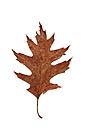 Wilted autumn leaf of oak tree - WWF003613