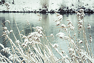 Germany, Landshut, snow-covered reed at Isar River in winter - SARF001310